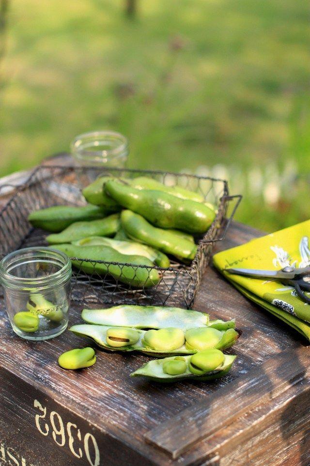 家庭菜園より~ぷっくりそら豆、収穫できました