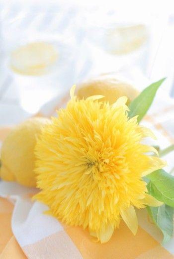 人気ナンバーワンは、ふさふさ八重咲きのひまわり。 八重咲きのひまわりは、 東北八重、レモンオーラーなどいくつかあります。 色は、爽やかなレモンイエロー。