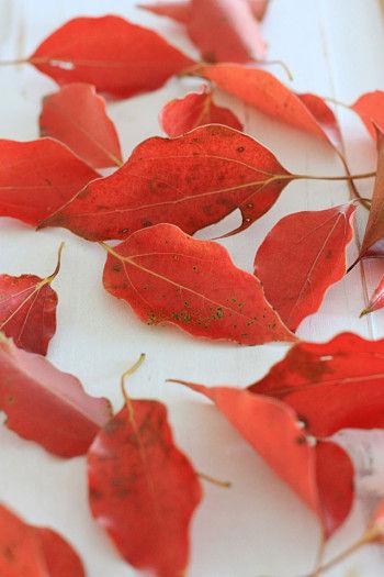 こちらは、公園で拾ってきたクスノキの葉です。