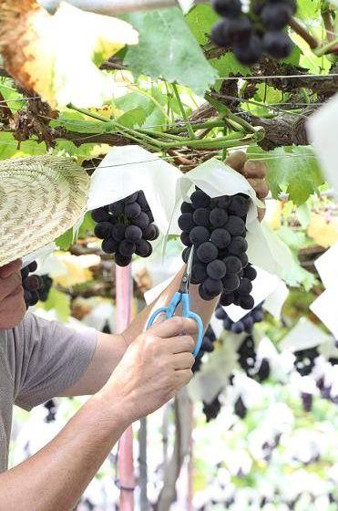 夏をいただく~葡萄づくりにこめた想い
