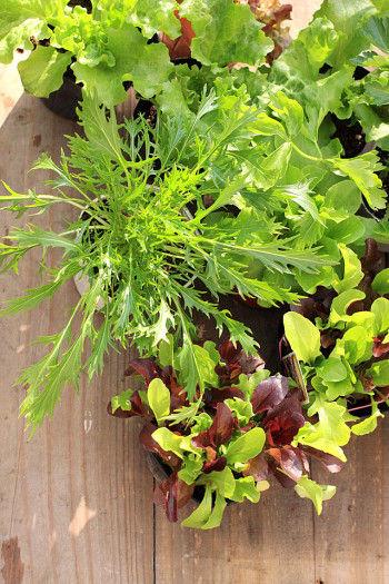 葉色もきれいですし、サラダにもなる! ガーデンレタスを植えてみませんか。 ビオラとの寄せ植えも楽しいです。