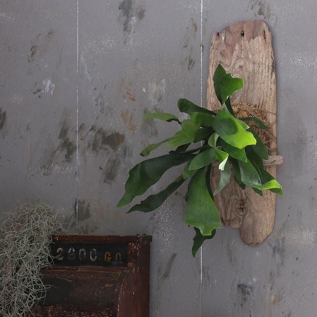 コウモリラン(ビカクシダ)+流木の壁かけアレンジで、男前インテリアを楽しむ
