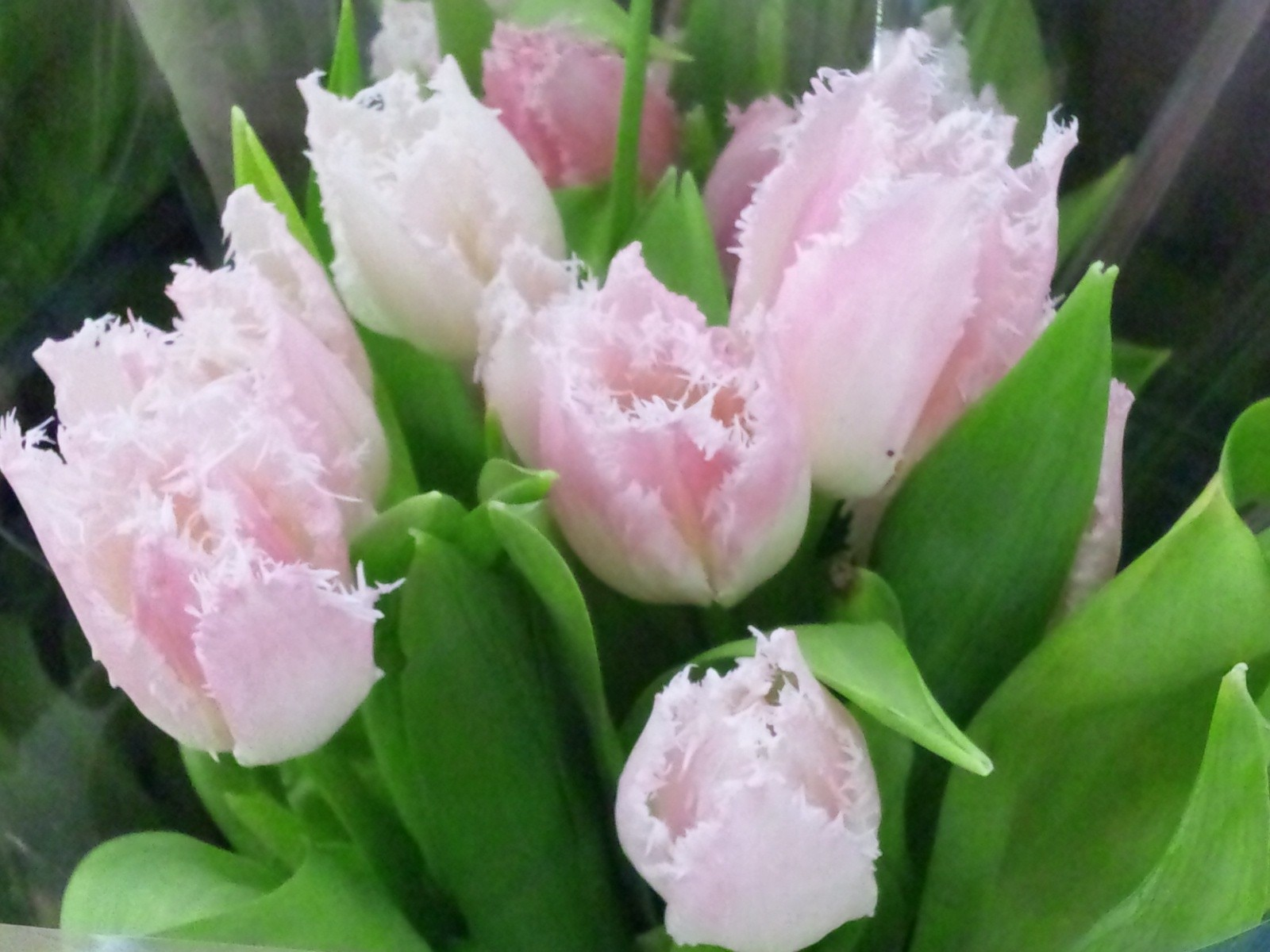 Pc壁紙 背景ブラック壁紙 13春 チューリップ アメの花 1024 768 19 1080 Yakoyakoブログ