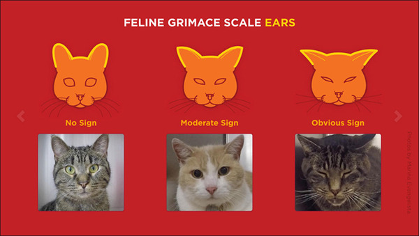 cat-grimace-ears-data