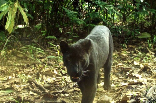 黒豹は実はヒョウ柄だと判明
