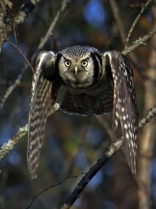The-incredible-Torpedo-Owl