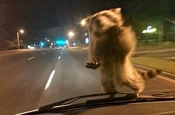 警察車両のフロントガラスにアライグマがダイブ!警察官もびっくり 米コロラド州