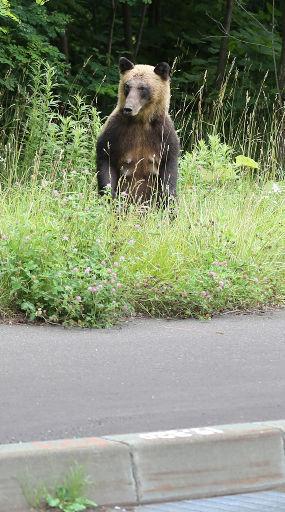 札幌市の国道脇でヒグマが仁王立ち。「こんな明るい時間に出るとは」