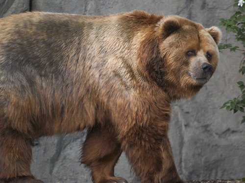 Kodiak_bear_in_germany