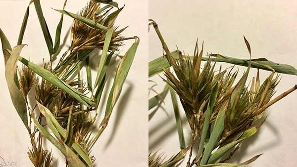 【悲報】不吉の前兆か神秘か?山森さんちの裏山の竹が60年ぶりに花を咲かす