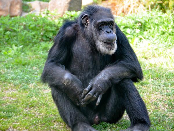 【訃報】ジョニーさん(69)死去 国内最高齢のチンパンジー
