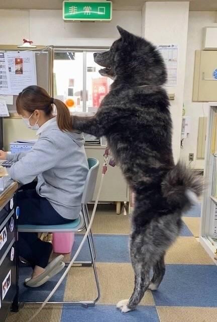 1歳の秋田犬がデカすぎる 日本唯一の大型犬 国の天然記念物