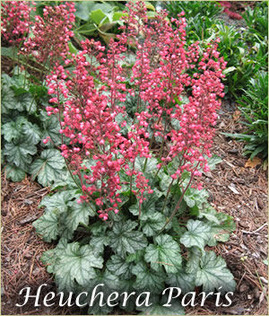 top_heuchera_300