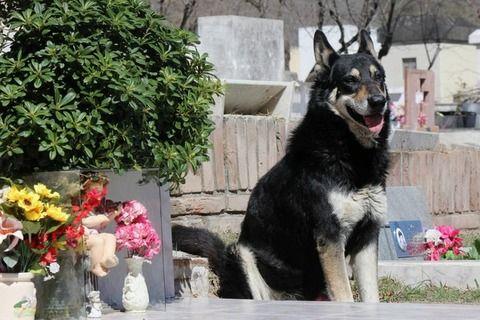 【超絶悲報】飼い主の墓に11年寄り添った忠犬が死去する・・・