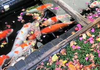 梅の花 鯉