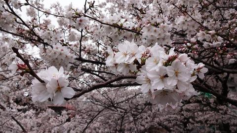 2013 桜2