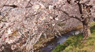 2015桜A