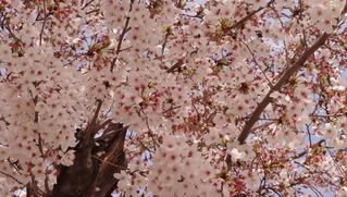 2016桜満開後