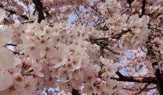 2015桜C