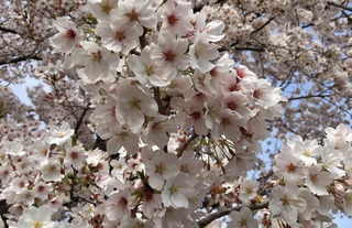2017桜満開
