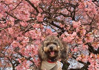 春さくら🐩