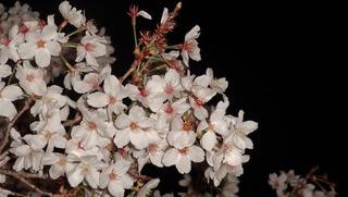 夜桜2015