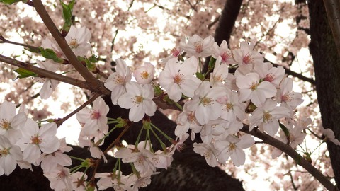 2013 桜3