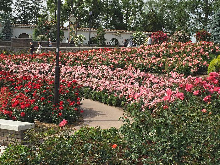 111荒牧バラ公園