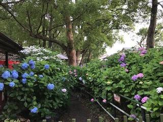 紫陽花苑2