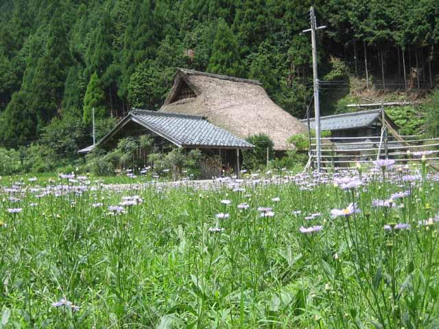 110819 北山友禅菊1