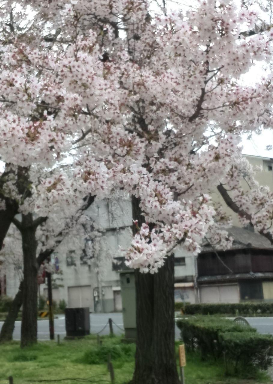 140424桜