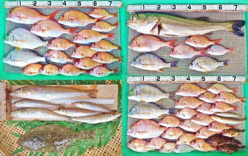 湾奥ルアーでスズキ80cm!ハイカラ釣りでマダイ、ヒョウゴ、チヌ!キスはMAX26cm!