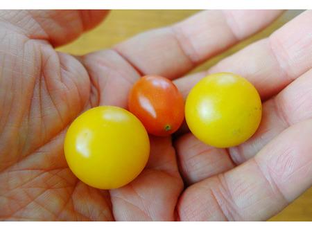 k-8-4-2020-tomato