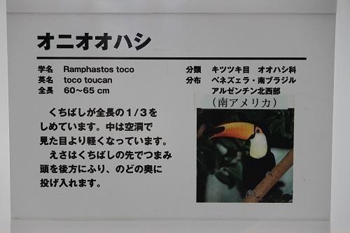 オニオオハシの画像 p1_17