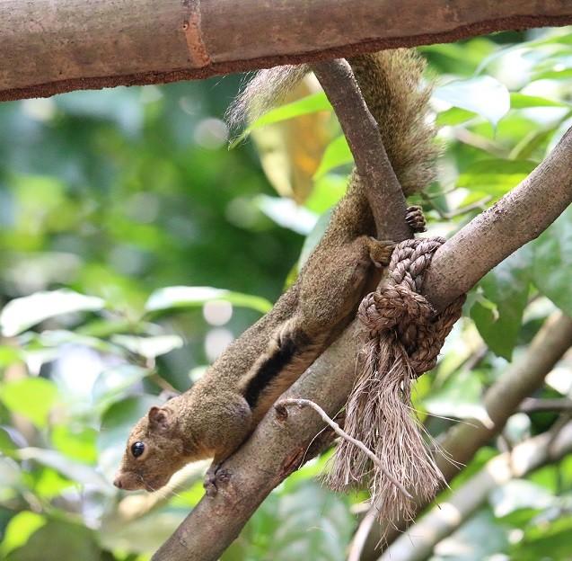 シンガポール動物園 タグの一覧へ あにまるカメラ:シロガオサキ あにまるカメラ 動物たちの思い出