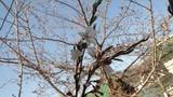 0410桜2