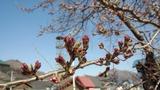 0410桜