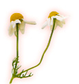 chamomile