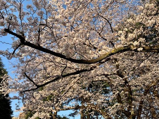 満開の桜①