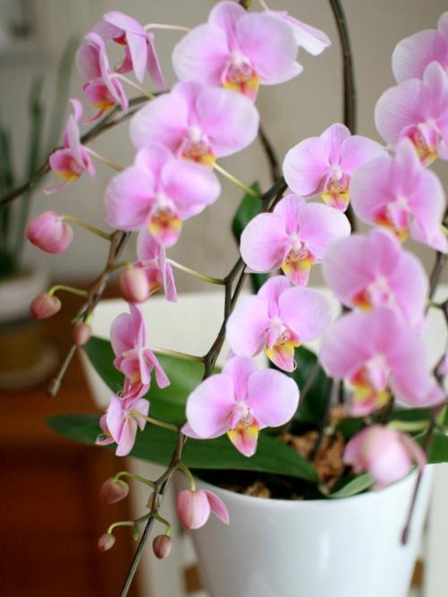 以前の胡蝶蘭