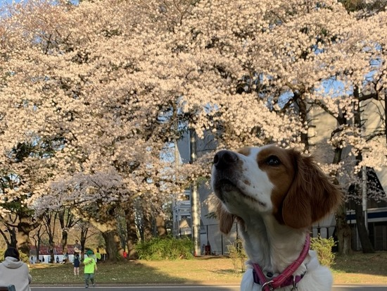 満開の桜②