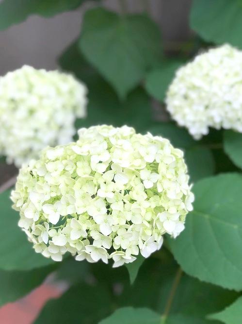花壇のアナベル