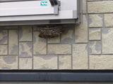 アシナガ蜂の巣�