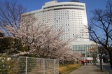 国際展示場の桜満開です 3