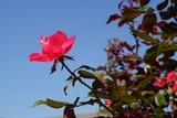天を突く真っ赤なバラ 10