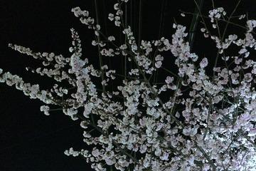 コカ・コーラ工場に咲く早咲き桜(ライトアップ)