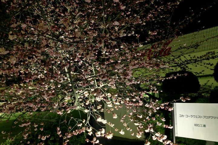 コカ・コーラ明石工場の桜1