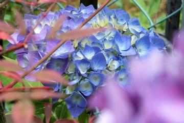 庭の紫陽花3