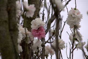 金ヶ崎公園の桜2015-2