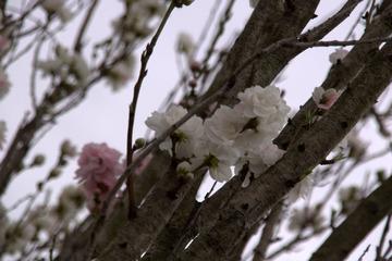 金ヶ崎公園の桜2015-1